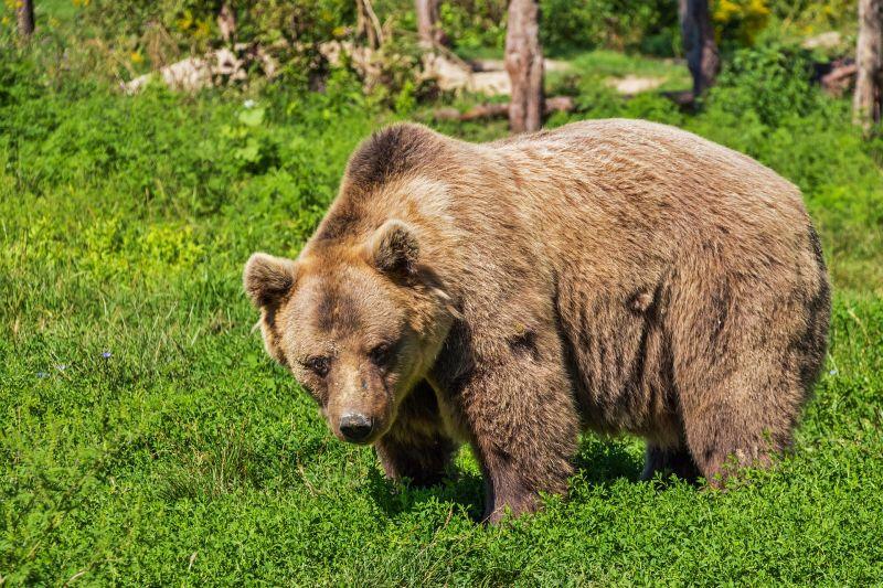 A medve széttépte az idomárt, mert az elfelejtette levenni a maszkot