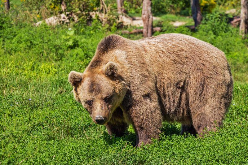 Medve üldözte a síelőt Romániában – videó