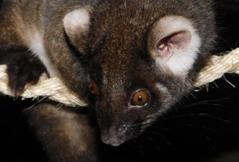 A városokba betelepülni kényszerülő oposszumok terjesztik a húsevő baktériumot