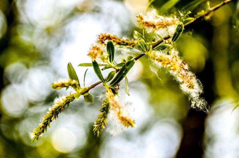 Rossz hír az allergiásoknak! A pollenszezonban sokkal fertőzőbb lehet a koronavírus