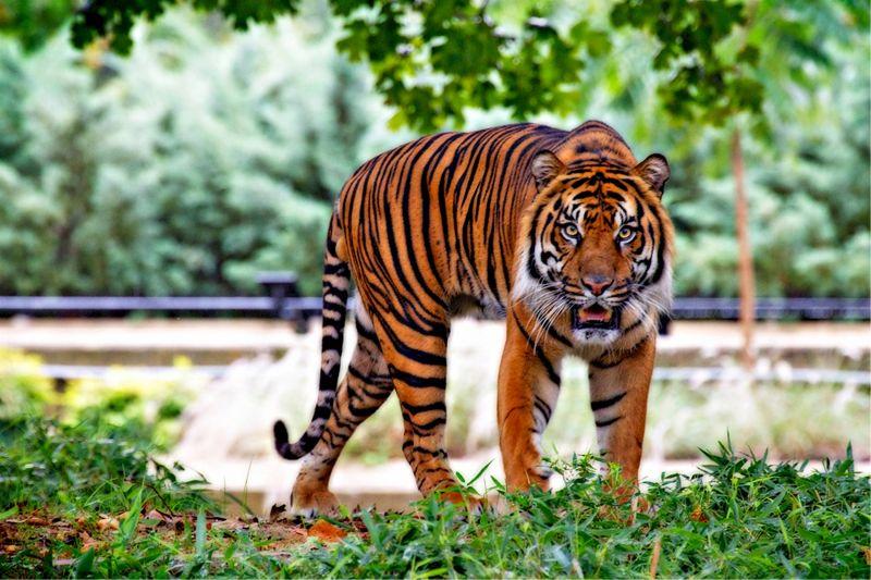 Fellélegezhetnek a houstoniak: megtalálták a napok óta a városban kóborló tigrist