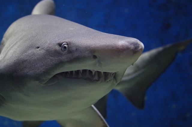 Elképesztő! Megtartja az őt megcsonkító fehér cápa fogát egy ausztrál szörfös