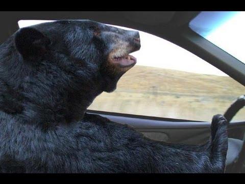 Autót vezető medve látványára ébredtek Coloradóban
