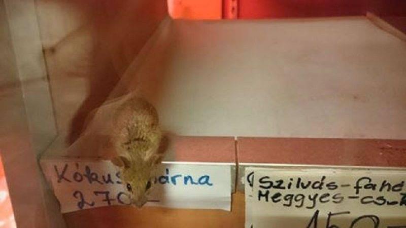Három egeret találtak egy pékségben a Délinél